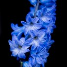 Hyacinth Study 1