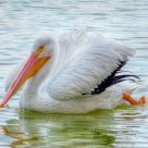 American White Pelican (Pelecanus erythorhynchos)