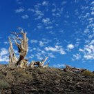 Bristlecone And Clouds