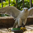 Falco in giardino / Hawk in garden