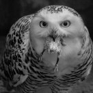 Snowy owl feeding on chick II (infrared B&W)