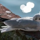 Resting seagull with Lake Garda bokeh