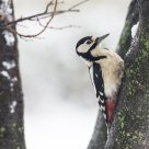 Great Spotted Woodpecker II.