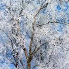 A frosty birch
