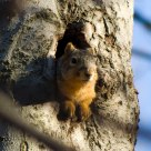 Squirrel in a Beech Tree