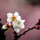 The Plum Flower