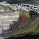 Smilin' croco