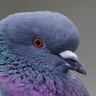 Pidgeon (close-up portrait)