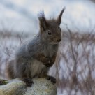 Squirrel in a winter setting