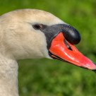 Portrait of a Swan