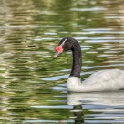 Black-necked Swan (Cygnus melancoryphus)