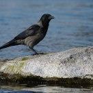 I do not like the ravens...