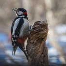Great Spotted Woodpecker (Dendrocopas major)