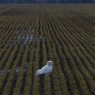 Snowy Owl in Wheatfield