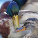 That's Love - Coppia di Germani Reali - Couple of Mallards