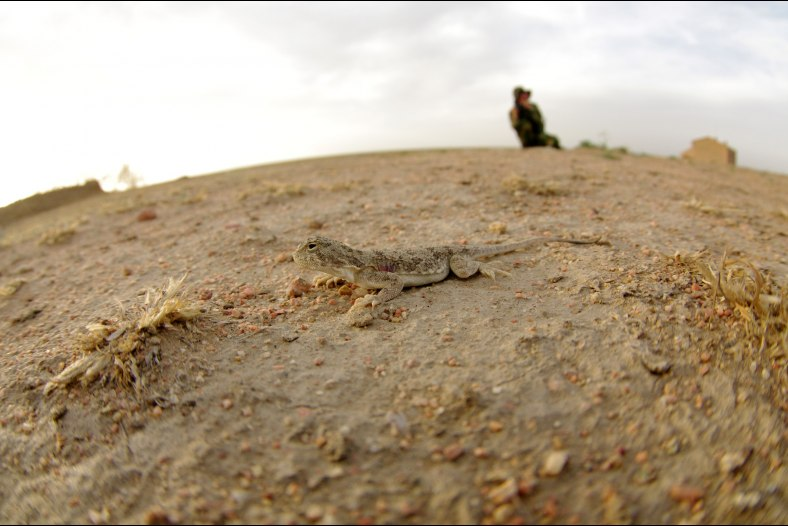 A deserttoad-headed agama