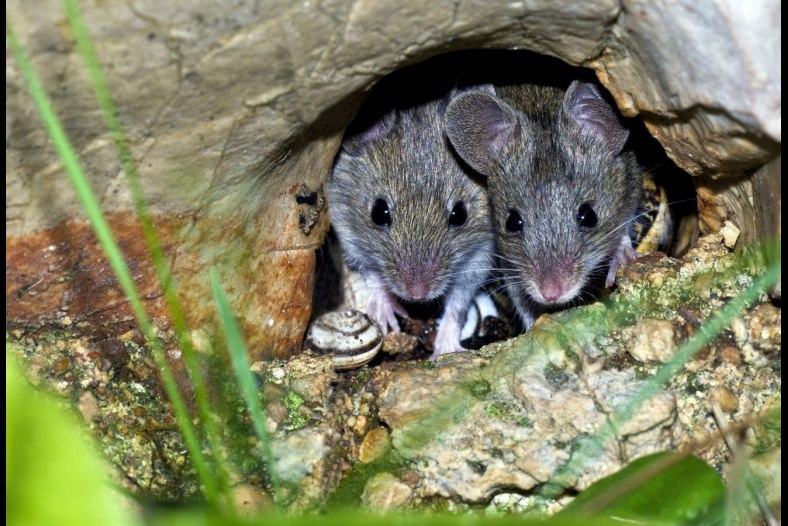 The wild house mouse