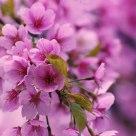 sakura twice