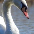 Cigno Reale - Mute Swan - Cygnus Olor