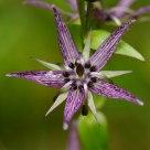 Niebielistka trwała (Swertia perennis L.)