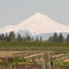 Mt. Hood & Shrubberies