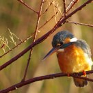 Martin Pescatore - Kingfisher 3