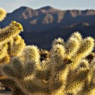 Cholla & Mountains