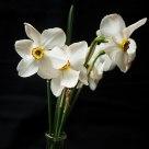 White Doffodils