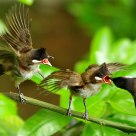 Let me first  !  (Red-whiskered Bulbul)