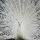 White Peacock  by  DA 18-250mm F3.5-6.3