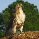 The Young Red-tailed Hawk