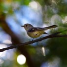 金啸鹟 -- Golden Whistler  (female)