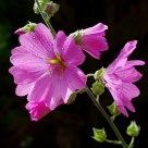 Lavetera Flowers after Rain