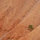 A Lonely Pine Tree