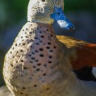 Alzavola Anellata  Maschio - Ringed Teal duck male (Callonetta leucophrys)