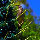 红垂蜜鸟   Red Wattlebird