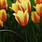Tulip: enthusiasm Parrot