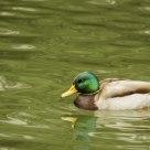 A male duck