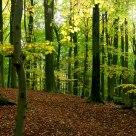 Beech Forrest