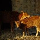 Bulls under the sunlight
