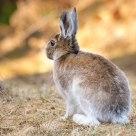 Arctic Hare - Springtime