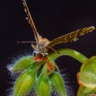 Mariposa del Geranio I