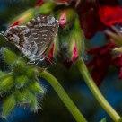 Mariposa del Geranio IV