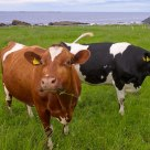 Cows on green fields by the seashore with a view to the North Sea - Flø in the county of Møre og Romsdal, Norway