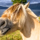 A very special breed - Fjordhesten, the Norwegian Fjord Horse here seen at Hestenesøyra in Nordfjord