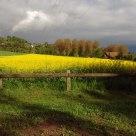 Campo di colza (2)