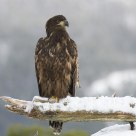 White-tailed Eagle (young one)