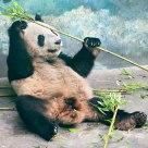 Panda in Nanjing zoo
