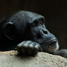 Sad Chimp