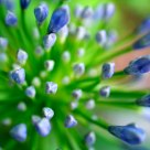 agapanthus, becoming